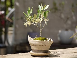 日本文化・盆栽をもっと身近に!オリーブ盆栽の美術館を作りたい