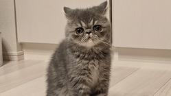 【小さな命を救いたい!!!】難病FIPになった家族の子猫うる