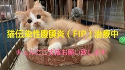 難病の猫伝染性腹膜炎(FIP)になってしまったキュルを助けたい!!