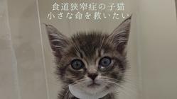 食道狭窄症の子猫を救いたい