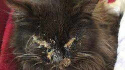 『リンパ腫』保護した猫の抗がん剤治療のご支援をお願いします。