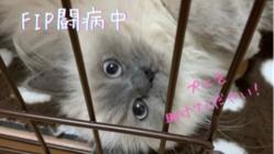 猫伝染性腹膜炎(FIP)プニの治療のご支援、ご協力お願い致します。