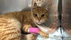 車に轢かれた野良猫の手術費・治療費が必要です。