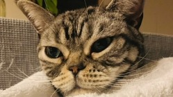 FIP猫伝染性腹膜炎で闘病中シルバーの元気な鳴き声を聞かせて下さい