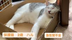 【手術費・尿管閉塞】2歳の保護猫を助けたいです。