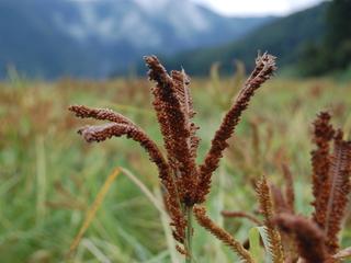 南アルプスから幻の雑穀「しこくびえ」を復活させ全国供給したい
