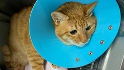 肥大型心筋症と闘病中の8歳の愛猫れつを助けてください。