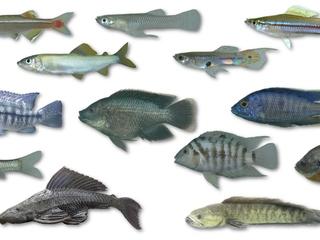 図鑑『沖縄島の外来魚ガイド』を作り、在来魚を絶滅から救いたい