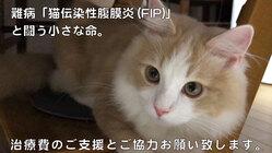 猫伝染性腹膜炎/FIPから猫の命を救う為に今私たちにできること