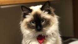 FIPという病になった猫の月ちゃんを助けてください!