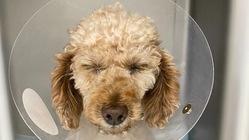 繁殖引退犬!歯石放置で抜歯、子宮蓄膿症の手術。本当は楽しい犬生を!