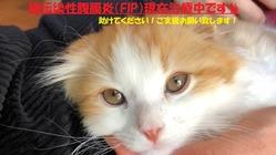 【助けてください】猫伝染性腹膜炎(FIP)治療費のご支援ご協力依頼
