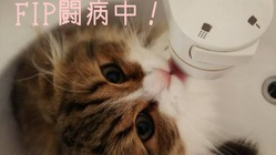 FIP(猫伝染性腹膜炎)を患ったテオの治療継続に力をお貸しください