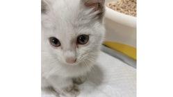 『尿道欠損による皮膚尿道瘻』生後2ヶ月の保護猫ルルちゃん