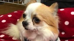 愛犬カールを『僧帽弁閉鎖不全症』から救ってください。