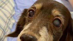 左眼失明の愛犬の白内障手術費用に御協力下さいませ