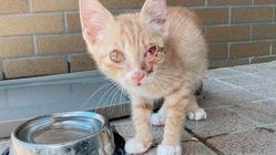 難病SFTS、角膜炎と診断された保護仔猫を助けてあげたい!
