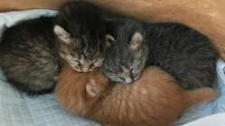 保護した子猫テオくん(重度結膜炎治療中)を助けたい!