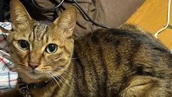 慢性腎不全と診断された6歳の愛猫『楽』に幹細胞治療を!