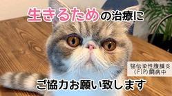 猫伝染性腹膜炎(FIP)治療費のご支援を宜しくお願い致します。