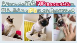 生後10ヶ月のオス猫*ポロ*のFIP治療費のご協力お願いします!