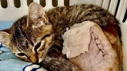再手術しました。事故で下半身を引きずった仔猫に御支援お願いします!