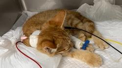 交通事故にあった保護猫ちゃんを助けたい!