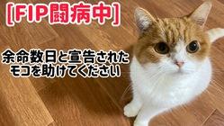 難病 猫伝染性腹膜炎(FIP)を発症したモコをどうか助けて下さい。