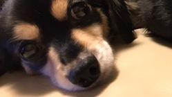 キャンティの僧帽弁閉鎖不全症(心臓病)手術費用ご支援お願いします!