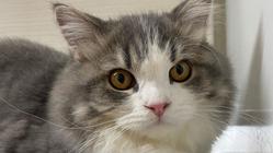 猫伝染性腹膜炎(FIP)と戦うテスを助けてください!