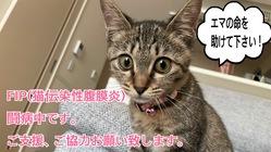 FIPと闘う仔猫を救うために、お力をお貸し頂けないでしょうか