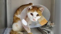 骨折した地域猫の手術費用ご支援お願いします!