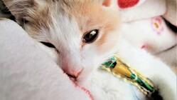漏斗胸と呼吸器不全に苦しむ保護子猫を助けたい!