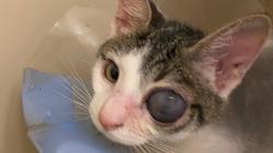 生後4ヶ月で眼摘手術をした保護子猫の手術治療費用ご支援お願いします