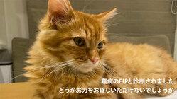 猫難病FIPと闘う小さな命にどうかお力添えいただけませんでしょうか