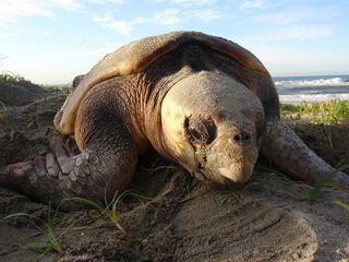 【第3弾】ウミガメ保護センターを表浜海岸にOPENします!