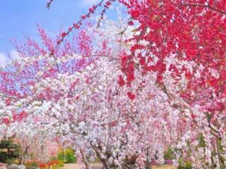 神奈川県小田原市6000㎡の耕作放棄地を、桃の花で満開にしたい!