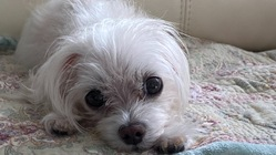 犬マルチーズくう5歳を助けてください