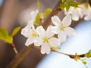 障がい者事業所のみんなで北海道に100本の桜を植える!