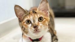 難病【FIP】発症。子猫のつばきの命を救ってください!