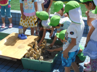 子ども達から大人気の合鴨ひな13羽を守るため、柵を設置したい!