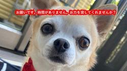 肺水腫で苦しんでいる愛犬『亜呂麻』の手術費をご支援ください!