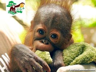 """インドネシアの森と共に生きる""""森の人""""オランウータンを救いたい"""