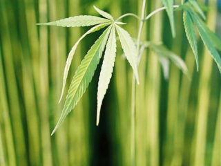 農作物としての大麻に関する書籍を書き、正確な情報発信をしたい