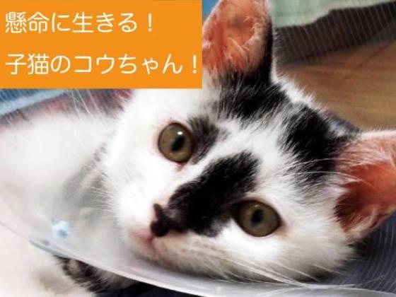 3本足の子猫のコウちゃんの治療を続けて、元気にしてあげたい!