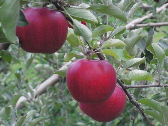 消滅寸前のりんご産地で希少品種「旭」のシードルを製品化したい
