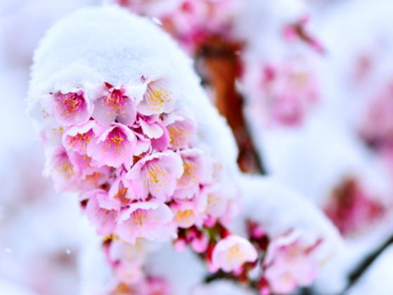 雪で桜を咲かせます!新潟・上越に期間限定の「桜茶屋」オープン