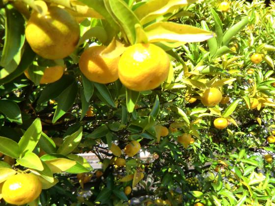 2000年の時空を超える伝説の神木「大和橘」の復活と再生!