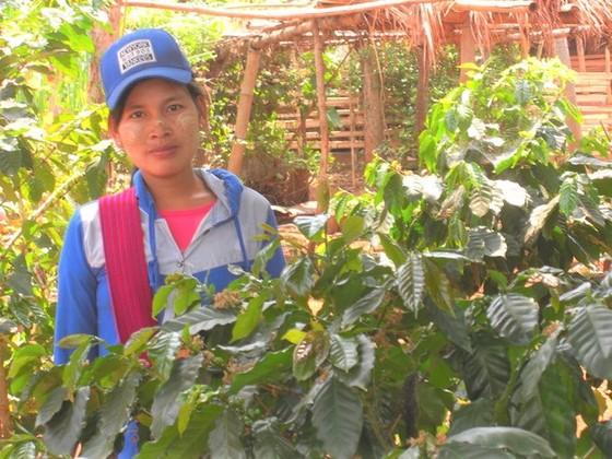 ミャンマーコーヒー栽培が農村の生活を支え、子どもたちを守る。