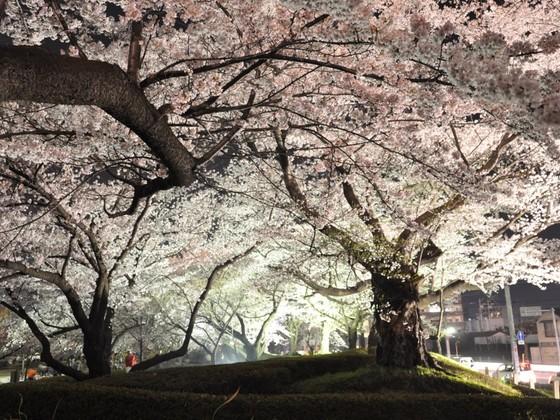 今年で27年目!郡山市の開成山桜ライトアップ祭りを守りたい!